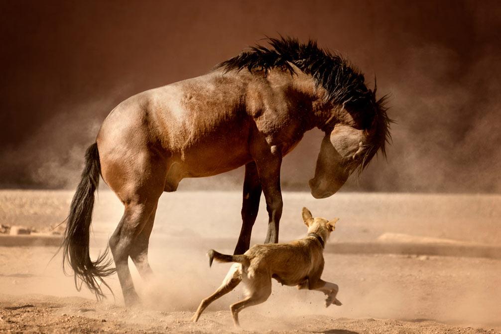 Cavalo Marroquino – Robusto E Temperamento Fogoso