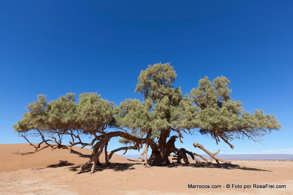 Uma única árvore Tamargueira No Deserto Do Saara