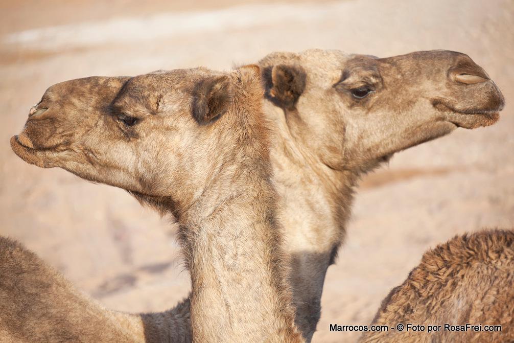 Fotos de Marrocos Animais Marrocos 4 Fotografias de Marrocos