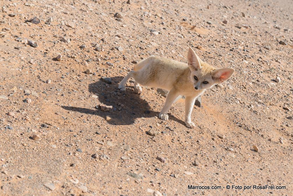 Raposa do deserto em Marrocos