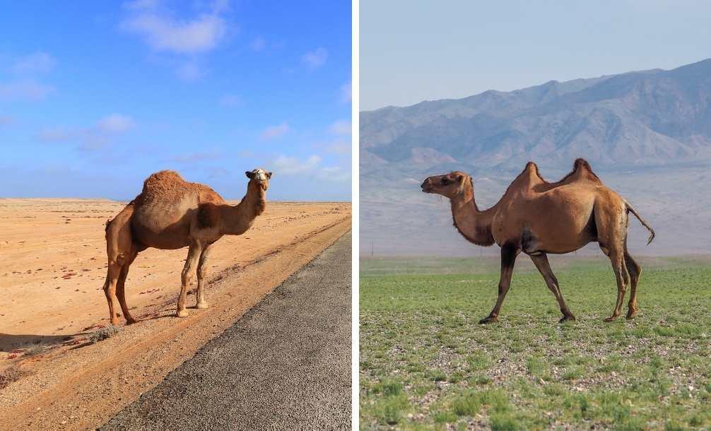 Foto com dois animais lado a lado para saber a diferença entre camelos e dromedários