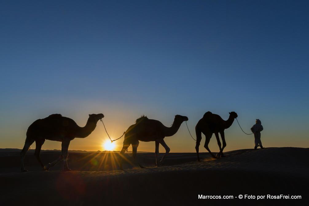 Um nómada com dromedários no deserto durante o por do sol em Marrocos