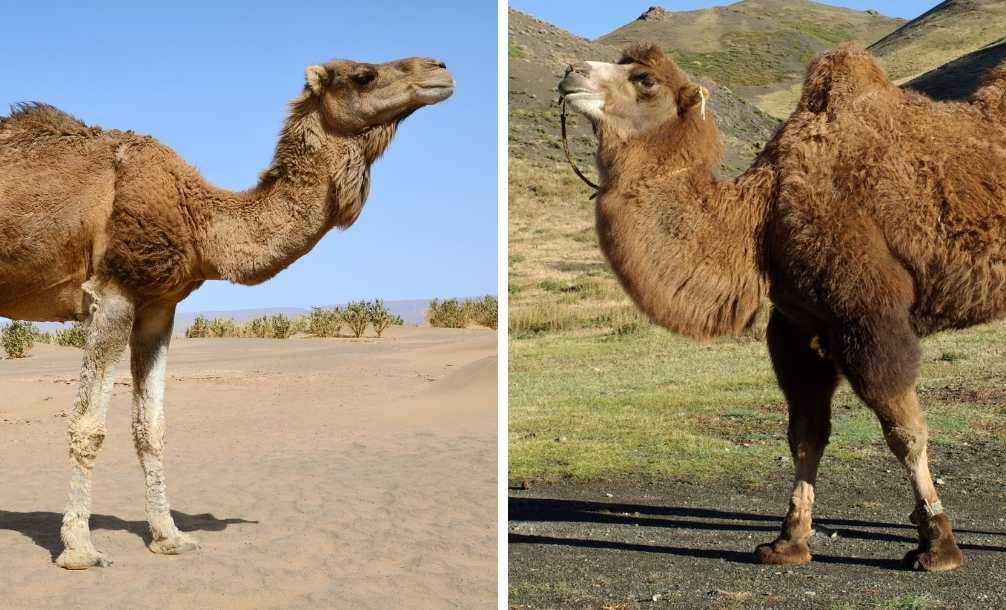 Dromedário e camelo lado a lado para comparar os dois animais