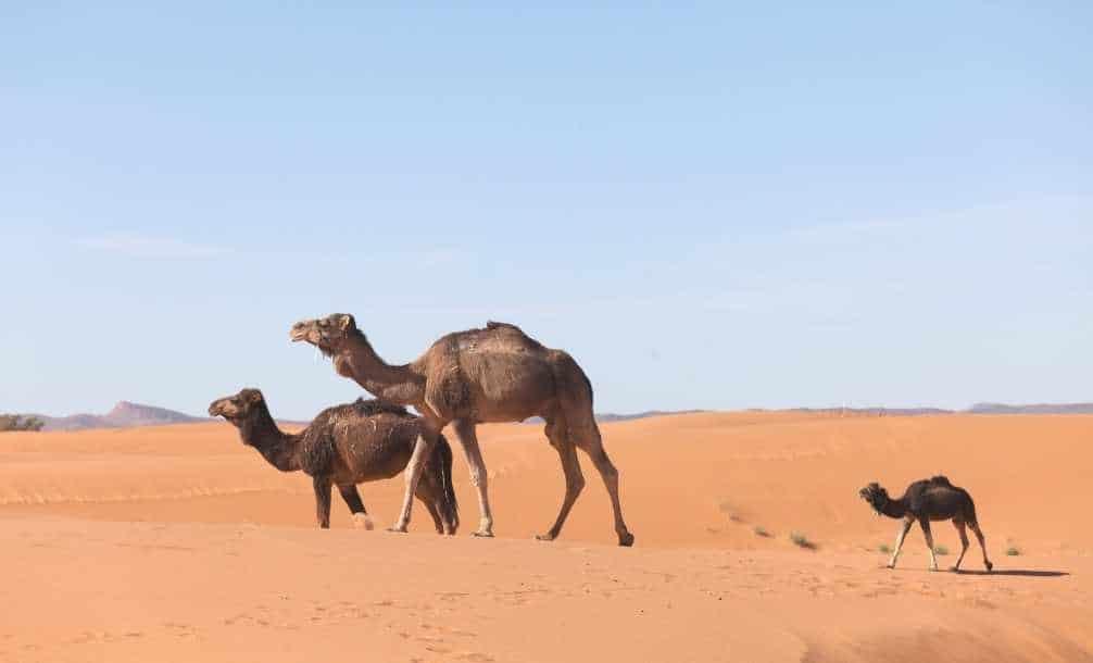 Foto de camelos no deserto de Marrocos
