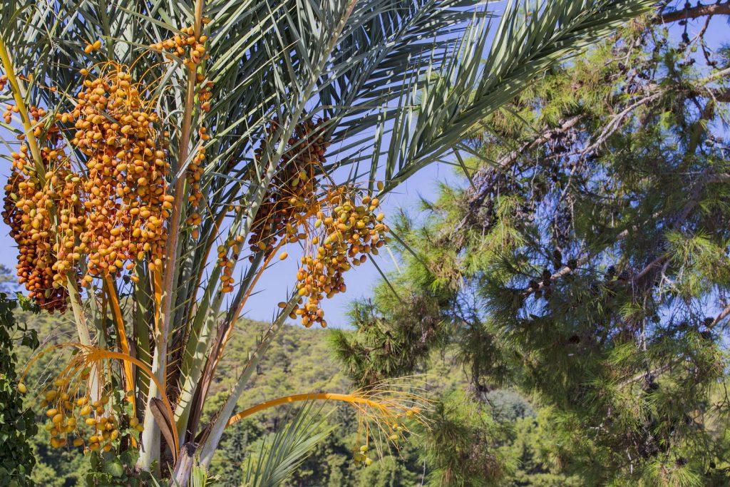 Palmeiras com tamara fruta