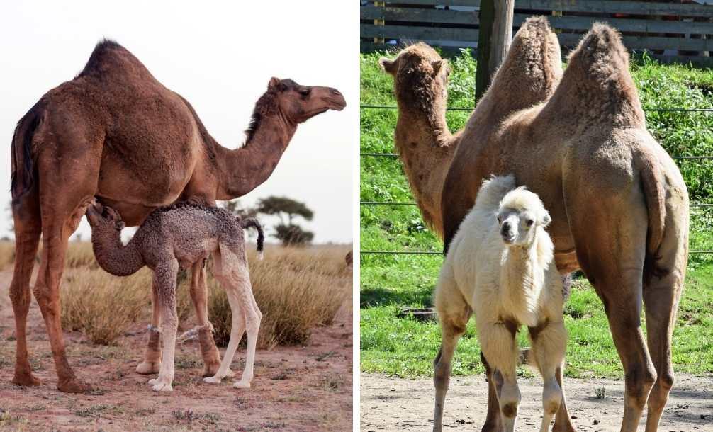 Diferença entre camelo dromedário