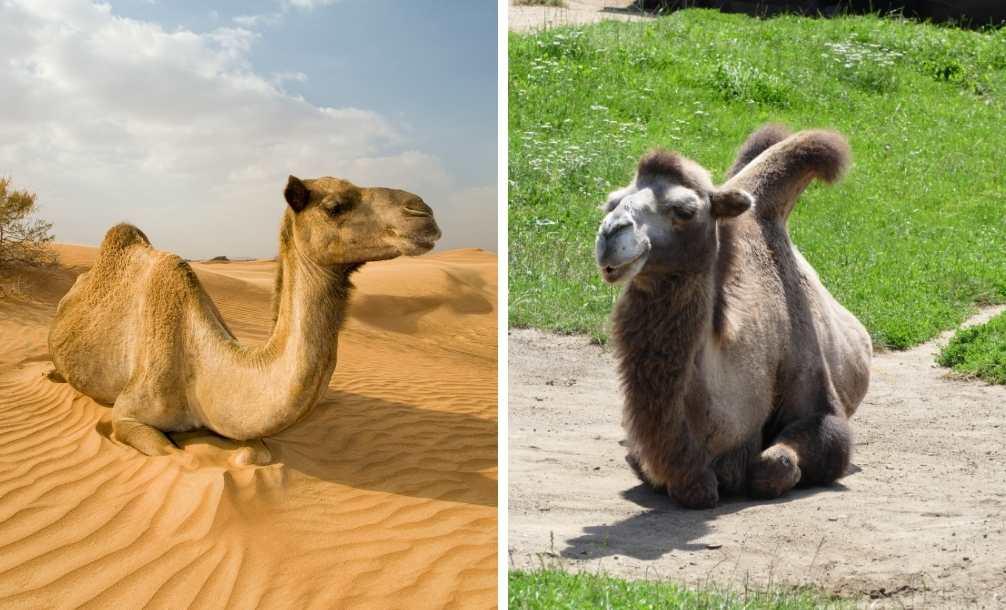 Diferença entre camelo e dromedário