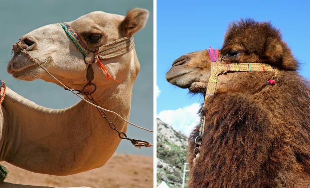 Animais lado a lado para saber a diferença entre camelo e dromedário