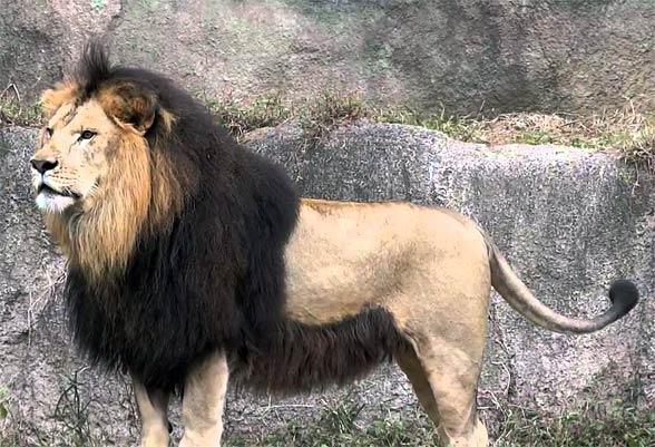 O Leão do Atlas - A maior de todas as subespécies de leão leao Acerca de Marrocos