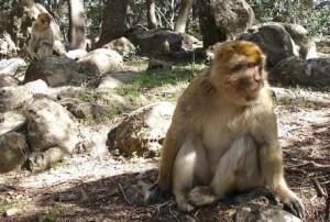 Macacos em Marrocos